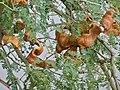 Winter Thorn (Faidherbia albida) pods (11887672376).jpg