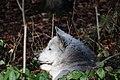 Wolf, Canis lupus 03.JPG