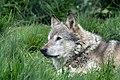 Wolf - Just watching 0845 (7263451216).jpg