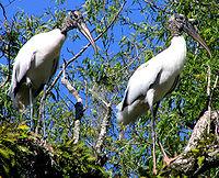 Wood Storks.jpg