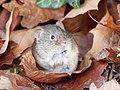 Woodmouse - Apodemus Sylvaticus.jpg