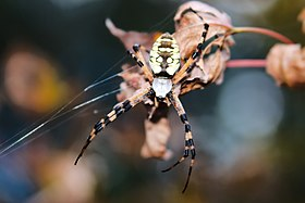 Writing Spider Argiope.jpg