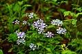 Wv-spring-forest-wildflowers - West Virginia - ForestWander.jpg
