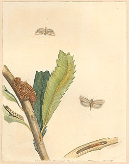 <i>Xylorycta strigata</i>