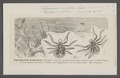 Xysticus - Print - Iconographia Zoologica - Special Collections University of Amsterdam - UBAINV0274 068 09 0018.tif