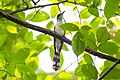Yellow-billed cuckoo (19195916608).jpg
