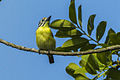 Yellow-fronted Tinkerbird - Ghana S4E1174 (16222730117).jpg