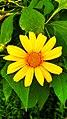Yellow Asteraceae Found in Curug Nangka, Taman Nasional Gunung Halimun Salak, West Java.jpg