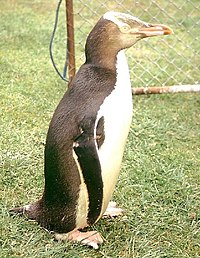 Yelloweyedpenguin.jpg