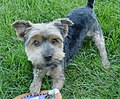 Yorkshire Terrier playing grass.JPG