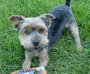 English: A male Yorkshire Terrier playing in t...
