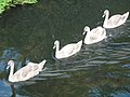 Young swans on the River Glaven - geograph.org.uk - 1514895.jpg