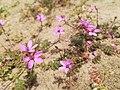 Zaniemysl, flora plazowa (2).jpg