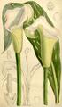 Zantedeschia rehmannii CBM.png