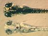 Zebrafish embryos.png