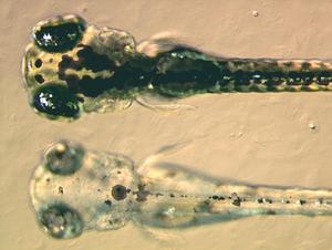 Zebrafish - Image: Zebrafish embryos