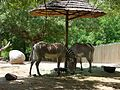 Zebras at Hogle Zoo, Jul 09.jpg