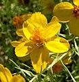 Zinnia grandiflora 2.jpg