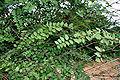 Ziziphus oenoplia W IMG 3627.jpg