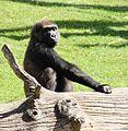 Zoo Hannover Gorilla (01).JPG