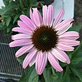 'Prairie Splendor Deep Rose' blush pink form echinacea purpurea IMG 4917-white.jpg