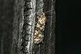 (1021) Flax Tortrix (Cnephasia asseclana) (3660477583).jpg