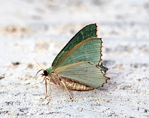 Common emerald - Image: (1669) Common Emerald (Hemithea aestivaria) (9239392365)
