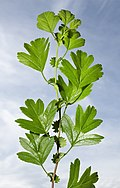 (MHNT) Crataegus monogyna - Leaves and stipules.jpg