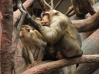 Southern pig-tailed macaque - Image: (Macaca.nemestrina 1 Prague ZOO