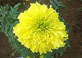 (Tagetes erecta) Marigold flower at Mudasarlova Park 01.JPG