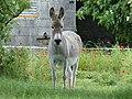 Âne gris dun en Mayenne (2).jpg