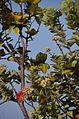 ʻŌhiʻa with Lehua - panoramio.jpg