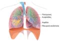 Ανατομία- κατώτερο αναπνευστικό σύστημα.png