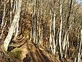 Букова шума на Плачковица.jpg