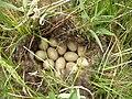 Гнездо утки - panoramio.jpg