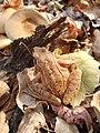 Горска жаба.jpg
