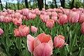 Елагин парк, фестиваль тюльпанов99.jpg