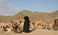 Катание на красном верблюдЕ - panoramio.jpg