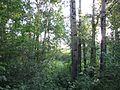 Лесополоса в купчино - panoramio (5).jpg
