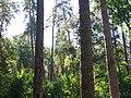 Смешанный характер пуща-водицкого леса.jpg