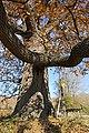 Споменик природе - стабло храста цера у Доњој Црнући крај Горњег Милановца 09.jpg
