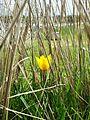 Тюльпаны Казахстана 05.jpg