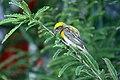 सुगरण इंग्रजी नाव Weaver Bird Baya bird शास्त्रीय नाव Ploceus philippinus.jpg