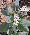 சிறுதேள்கொடுக்கு 1 (Heliotropium curassavicum ).jpg