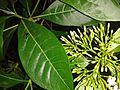 பாவட்டா 2 (Pavetta indica ).jpg