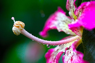 Ceiba speciosa - Image: ไหมจุรี Ceiba speciosa IMG 9777 Photographs by Peak Hora