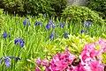 カキツバタは愛知県の花,知立市の花 - panoramio.jpg