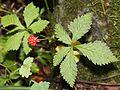 ゴヨウイチゴ Rubus ikenoensis.JPG