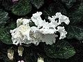 仙客來重瓣 Cyclamen persicum -新加坡濱海灣花園 Gardens by the Bay, Singapore- (24927123121).jpg