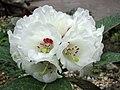 凸尖杜鵑 Rhododendron sinogrande v boreale -日本大阪鮮花競放館 Osaka Sakuya Konohana Kan, Japan- (27355333497).jpg